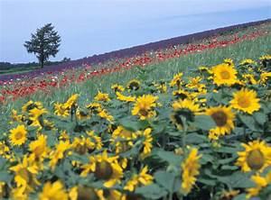 lavender, sunrise, stock, image, , image, of, flowers, , herbal