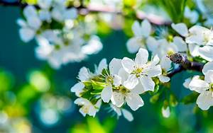 Apple, Flowers, Wallpapers