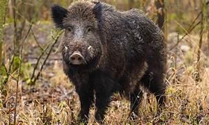 Wildschwein, -, H, U00d6nnezeitung