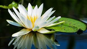 water, lily