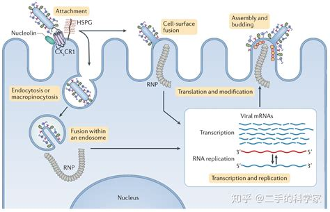 病毒是如何进入人体细胞的? - 知乎