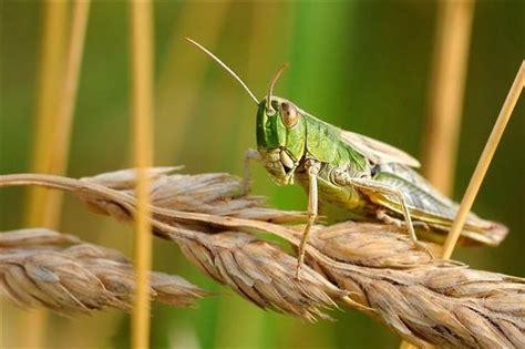 专家提醒沙漠蝗威胁