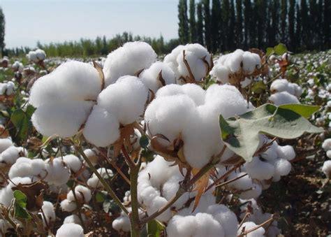 新疆棉花价格最新消息