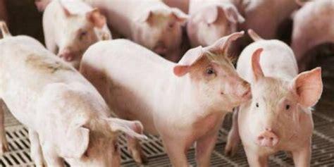 生猪期货怎么看