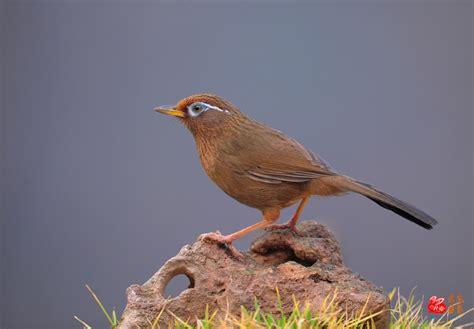 贵州最出名的画眉鸟